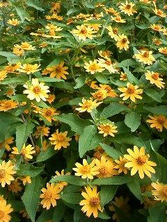 目白クラブ 黄の花