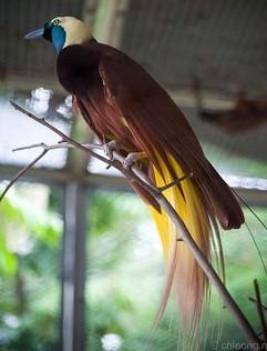 極楽鳥 オオフウチョウ