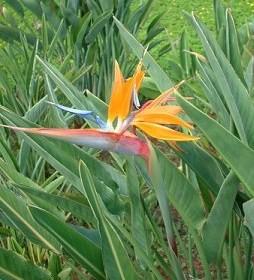 極楽鳥花 ストレチア
