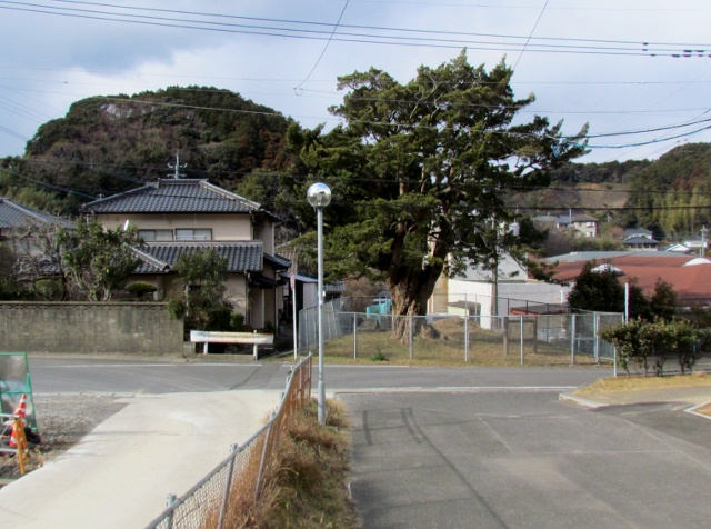 1槇の木 (640x476)