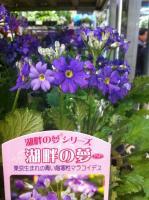 新種、青いメラコイデス