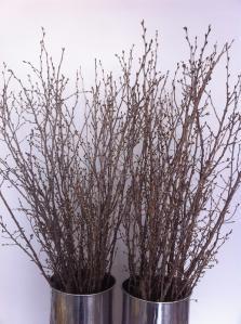 冬のサクラ(啓翁桜)全体