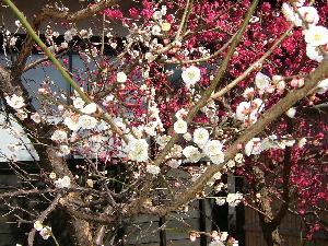 河津の梅の花