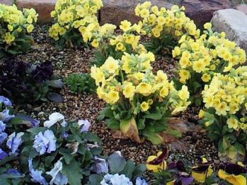 花壇のガーデンプリムラ