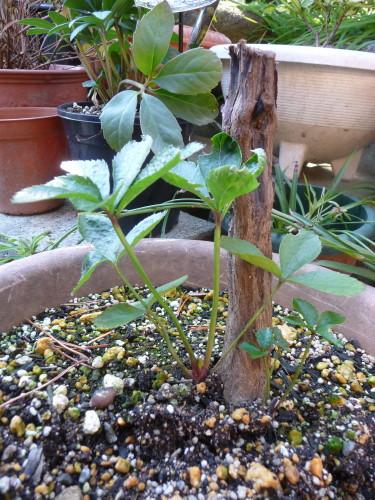 クリスマスローズのこぼれ種からの苗