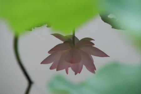 古河総合公園の大賀蓮