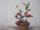 141102ヒメリンゴ
