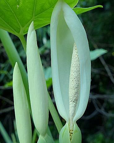 ハスイモの花♪