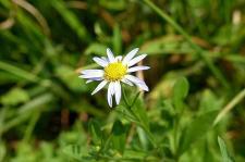 白い野菊♪