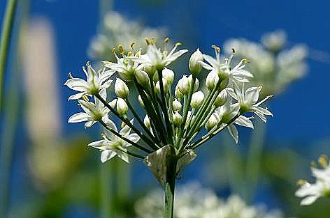 土手のニラの花♪