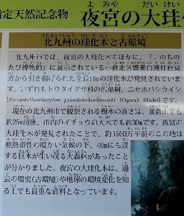 北九州市の珪化木と環境♪