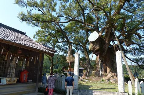 日本三大楠の一つ♪