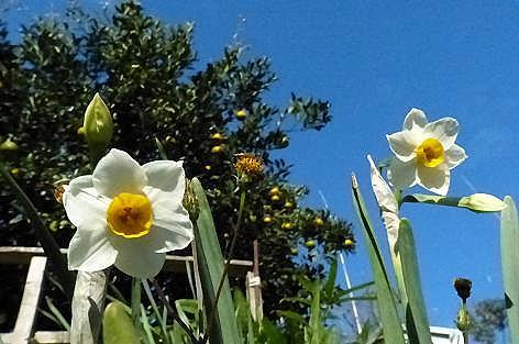 水仙が咲き始めた土手♪