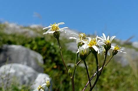 石灰岩と白い野菊♪