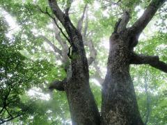 立派なブナの大木です