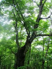 立派なブナの木です
