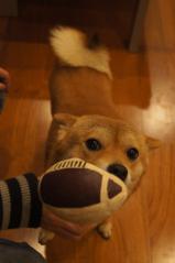 ラグビー犬②