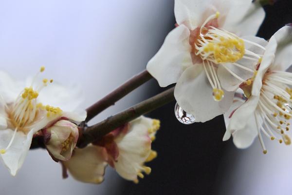 04・雨上がりの梅