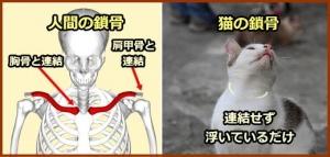 猫の鎖骨1