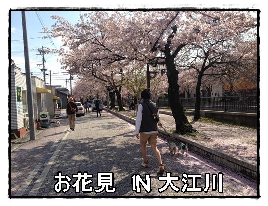 大江川おはなみ