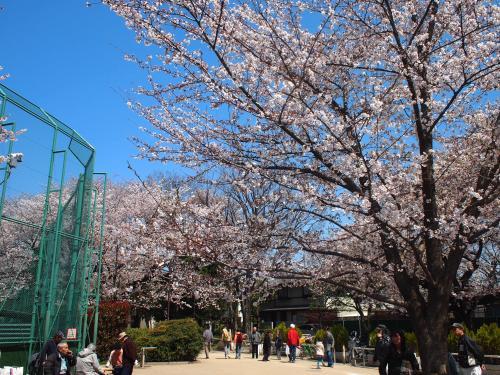 梅ヶ丘☆羽根木公園の桜