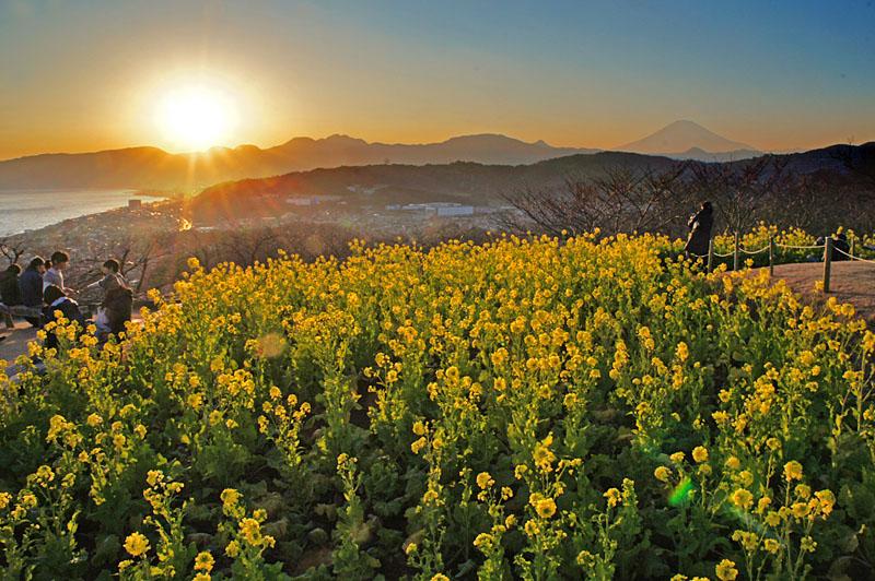 130112吾妻山公園菜の花1