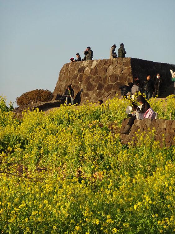 130112吾妻山公園菜の花5