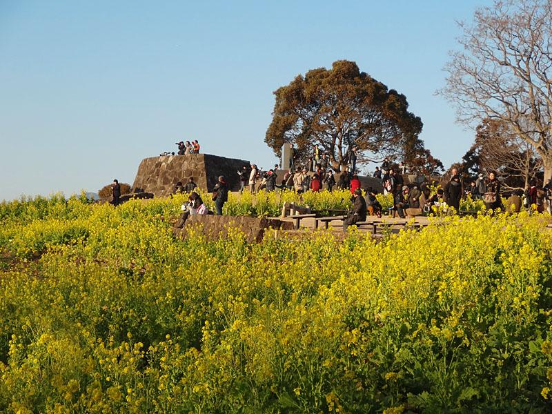 130112吾妻山公園菜の花4