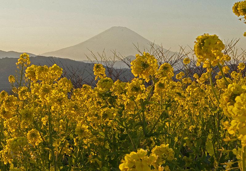 130112吾妻山公園菜の花3