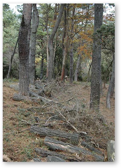 伐採前 隣の松の木