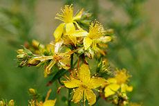 230px-Saint_johns_wart_flowers.jpg