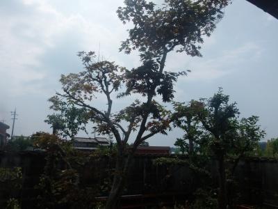 南庭木剪定後、8,16、s-P8160043