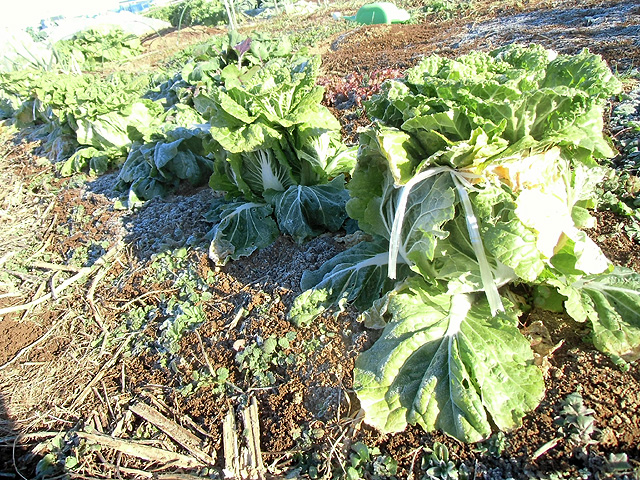 霜に耐える白菜