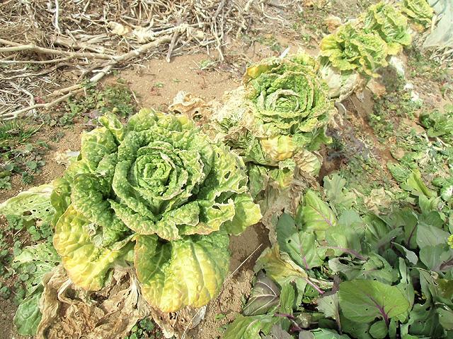 冬枯れた白菜