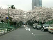 青山霊園の桜