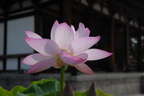 喜光寺 蓮09