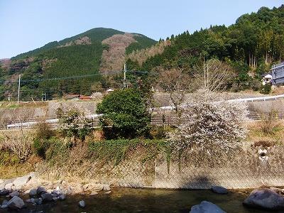 2012梅と桜 - コピー_1