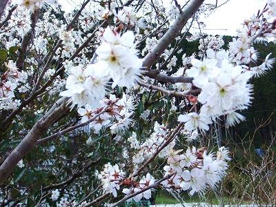 2012前の桜 - コピー_1