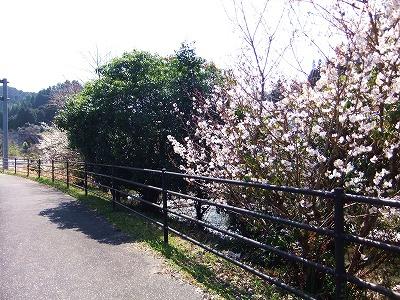 2012家の前桜 - コピー_1