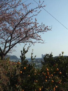 寒桜祭?0014
