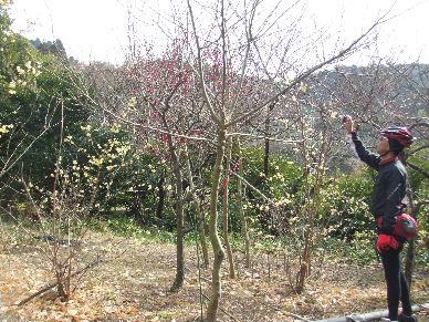 寒桜祭?0041
