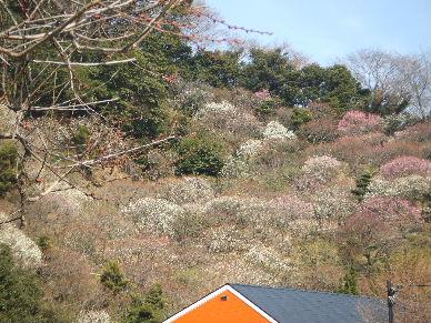 寒桜祭?0048