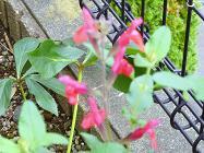 咲く残りの花