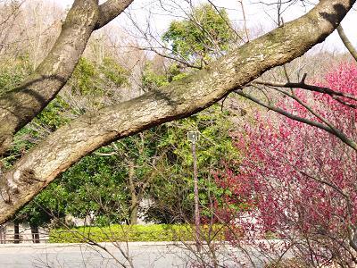 梅が咲いた 003