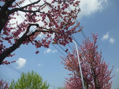 八重桜 003
