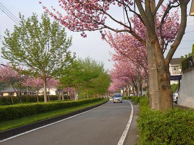 八重桜 015