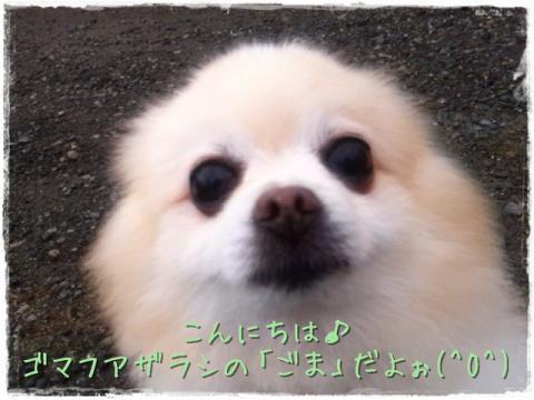 こんにちは♪ゴマフアザラシの「ごま」だよぉ(^O^)