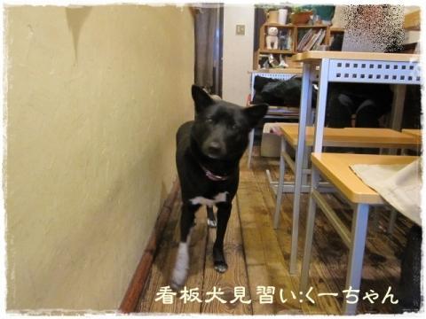 看板犬見習い:くーちゃん