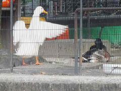 tori duck-s