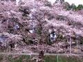 新江の桜20110416